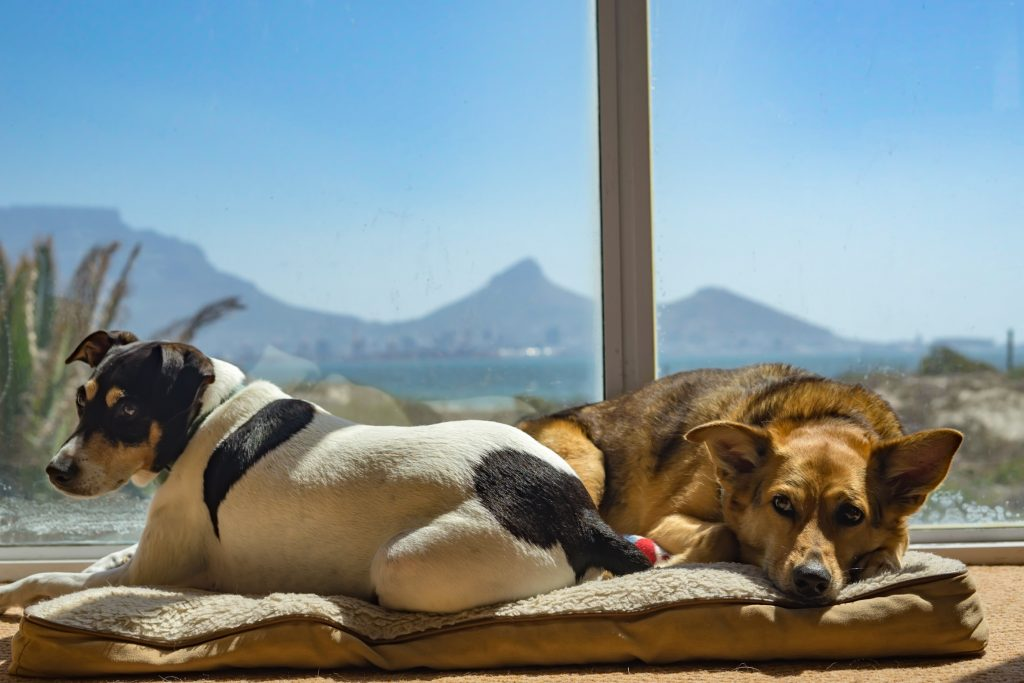 dogs, dog sitting, Cape Town, South Africa