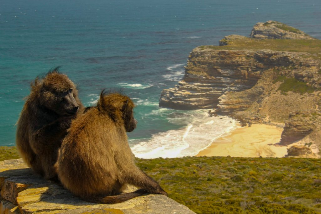 Baboons at Cape Point National Park House sitting in South Africa