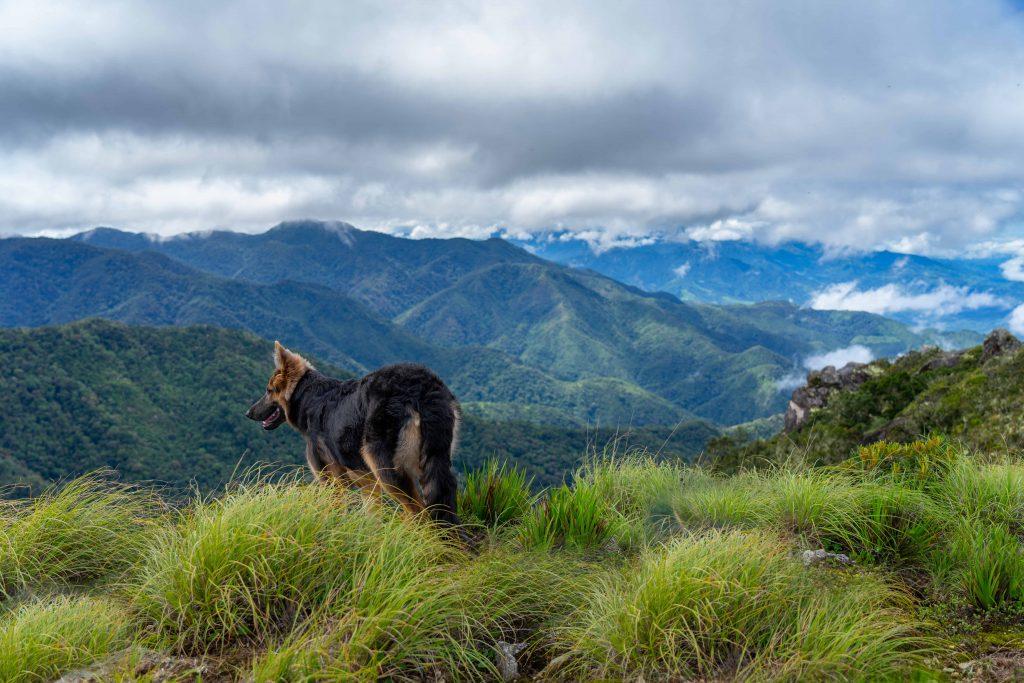 dog, German Sheperd, viewpoint, hiking, Boquete, Panama