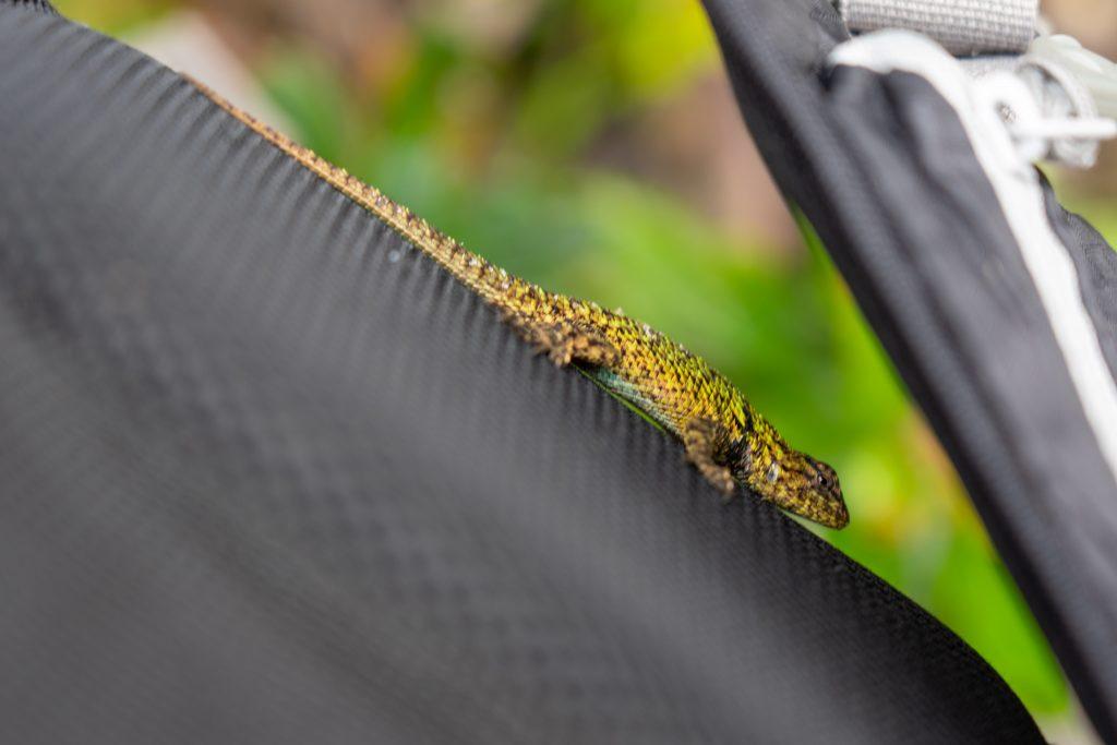 backpack, gecko, lizard