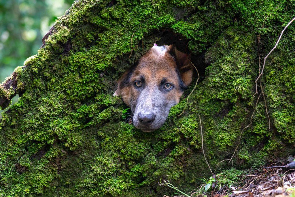dog, German Shepard