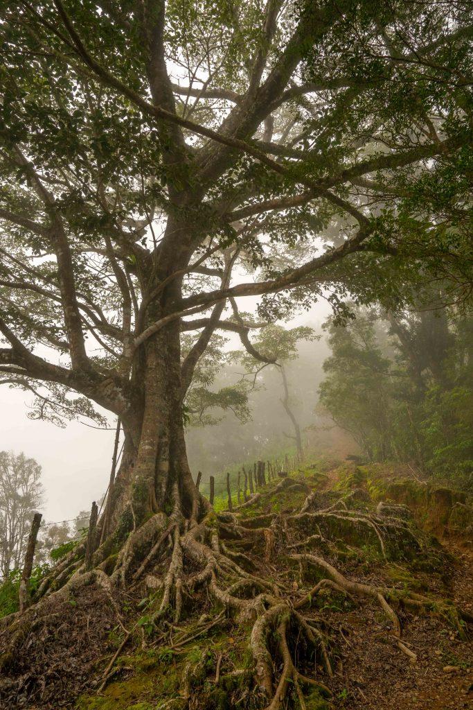 Artillery Hill, Cerro La Artilleria, Boquete, Panama, hiking, trail, old tree, roots