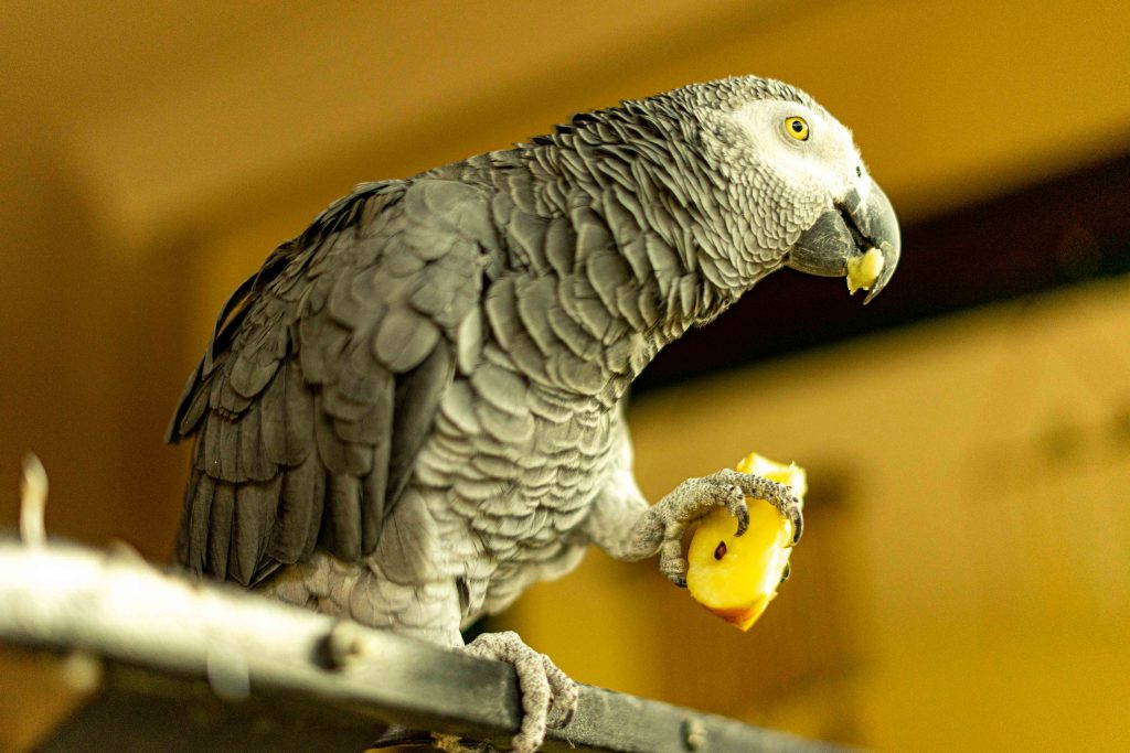 parrot. eating, African Grey, Kenya, cats, house sitting, Nairobi, Africa