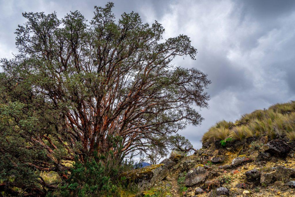 hiking, Cuenca, Ecuador, Cajas National Park, Parque Nacional Cajas, tree