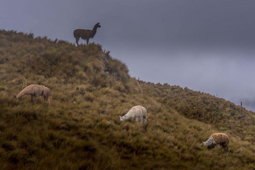 hiking, Cajas National Park, Parque Nacional Cajas, Cuenca, Ecuador, Route 4, llamas